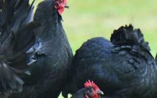 Порода кур Австралорп — харакеристики продуктивности, содержание