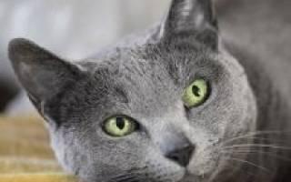 Русская голубая кошка: фото, описание породы, характер, уход