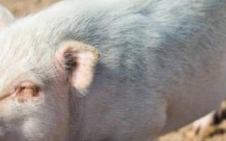 Почему поросята или свиньи кашляют: причины и лечение
