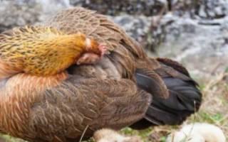 Перьевой клещ у кур: симптомы и лечение