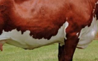 Герефордская порода: описание и характеристика