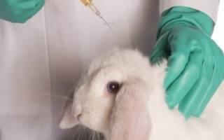Вакцинация кроликов в домашних условиях для начинающих: виды вакцин, подготовка к прививке, инструкция