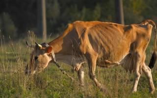 Лейкоз у коров: причины, диагностика, симптомы, лечение