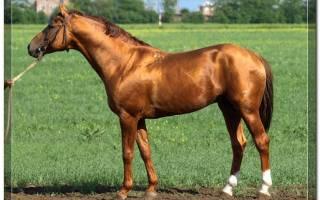 Ногайская порода лошадей: история, влияние на развитие новых пород