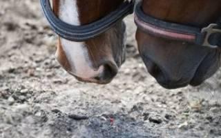 Строение желудка у лошадей: отделы, виды слизистой оболочки, диагностика патологий