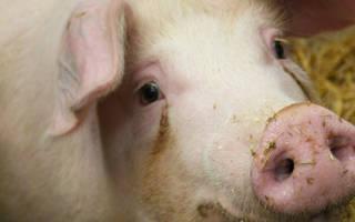 Хряк и боров — разница, особенности кастрации свиней