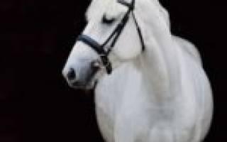 Белорусская упряжная порода лошадей: история, характеристика, достоинства