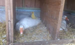 Гнезда для гусей своими руками: 2 варианта изготовления + размеры