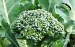 Капуста брокколи: вредители и борьба с ними