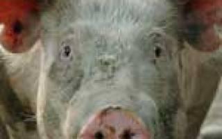 Саркоптоз свиней: симптомы, лечение