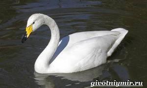 Лебедь-кликун: внешность, нормы кормления и нюансы содержания