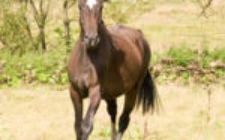 Вестфальская порода лошадей: история, характеристика, использование