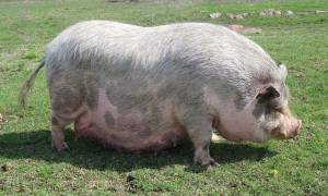 Роды у вьетнамских свиней в домашних условиях: признаки и уход