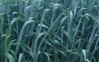Какую траву можно давать поросятам и какую нельзя?