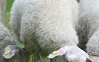 Молоко овец: повышение продуктивности овец молочных пород