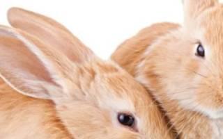 Случка и спаривание кроликов: технология и в каком возрасте можно это делать?